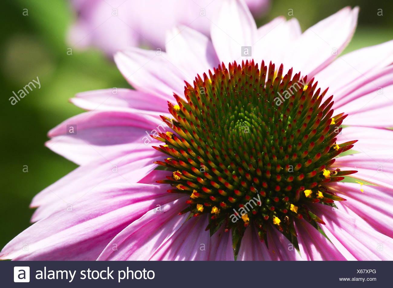 eastern purple coneflower - Stock Image