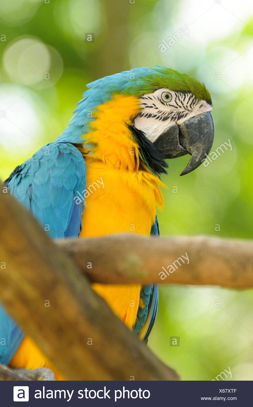 Blue-and-yellow macaw (Ara ararauna), also known as the blue-and-gold macaw, Yumka Park, Villahermosa, Tabasco, Mexico, America Stock Photo