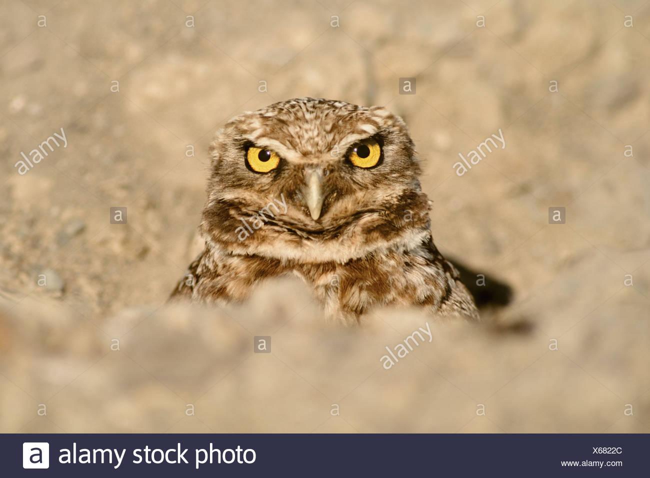 Monterey Bay California USA Burrowing owl in burrow Athene cunicularia - Stock Image