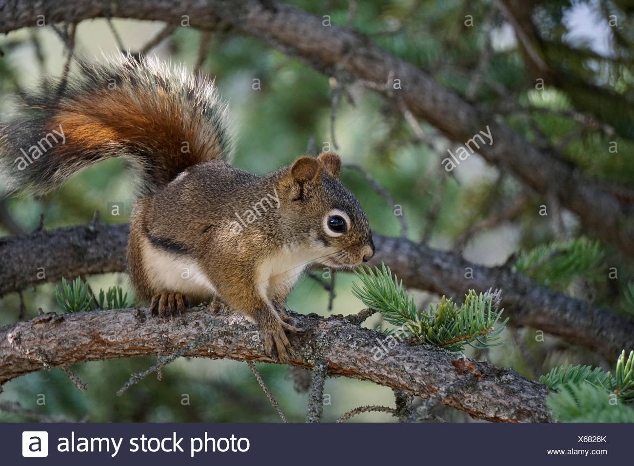 Kanada, Alberta, Banff National Park, Banff, Hörnchen, Rothörnchen, American Red Squirrel - Stock Image