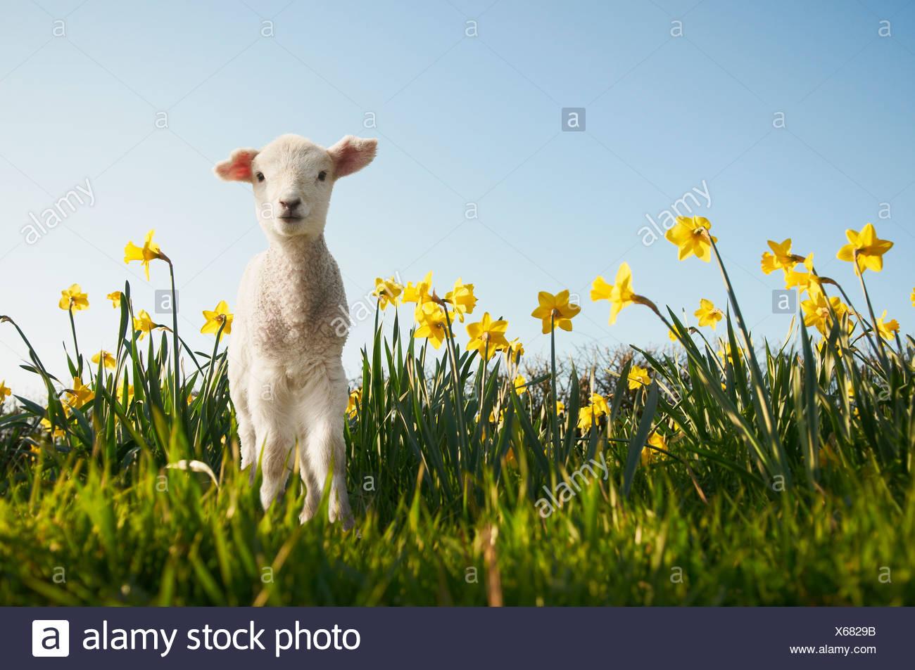 Lamb walking in field of flowers Stock Photo
