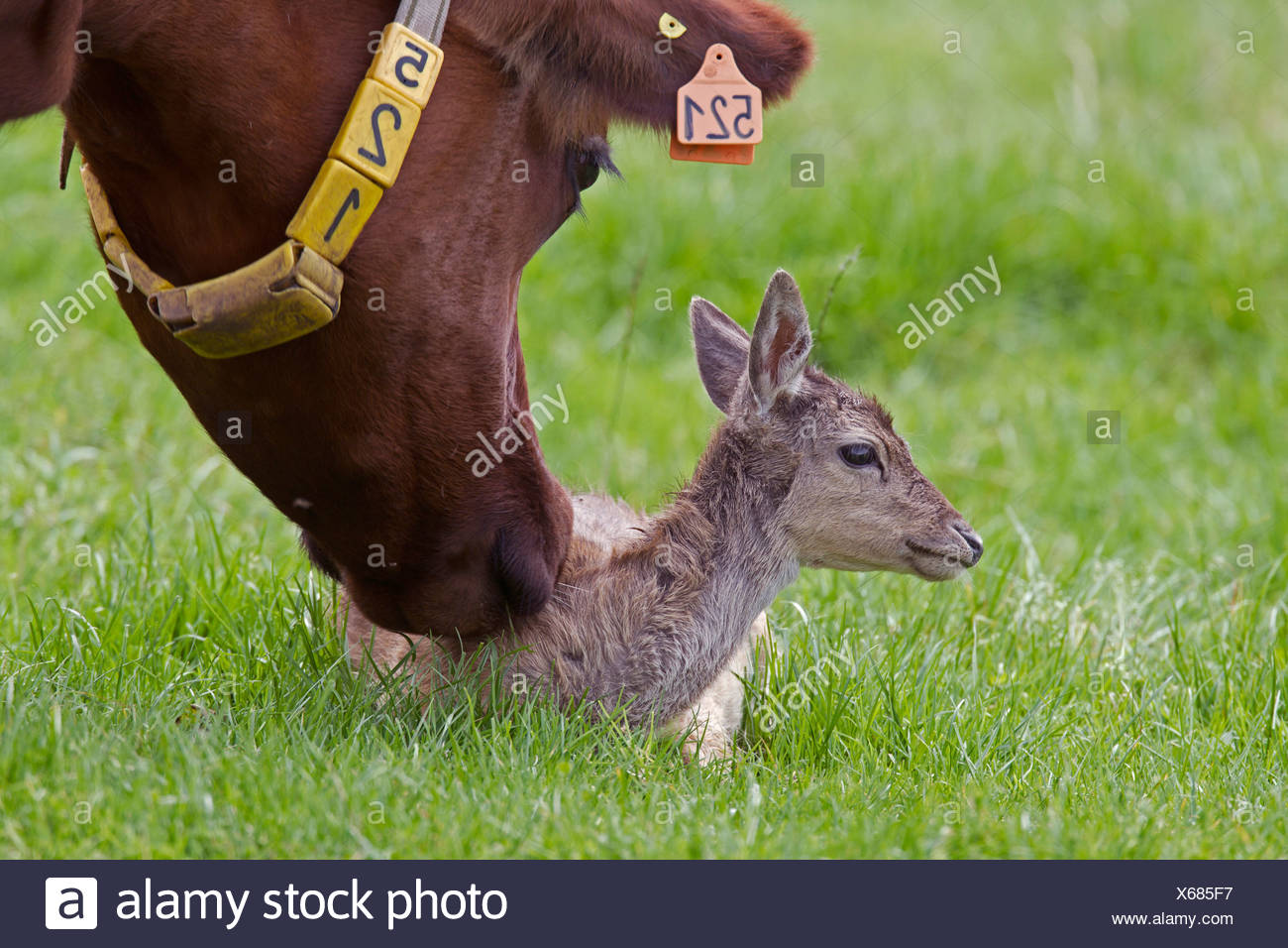 fallow deer (Dama dama, Cervus dama), fallow deer calf in a pasture together with domestic cattle, Germany, Schleswig-Holstein Stock Photo