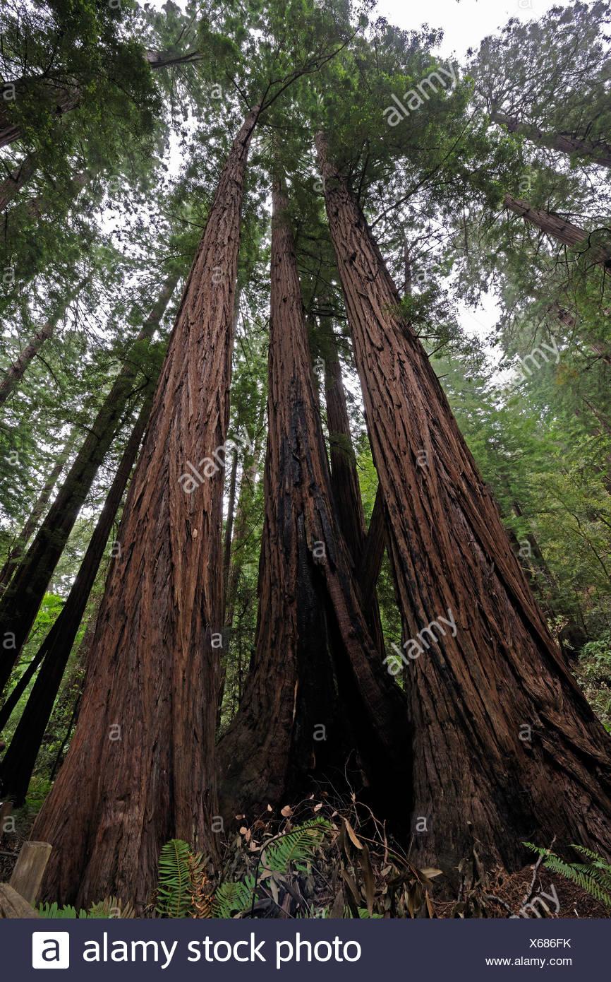 Vegetation and Coastal Redwoods (Sequoia sempervirens), Muir Woods National Park, California, USA, North America - Stock Image