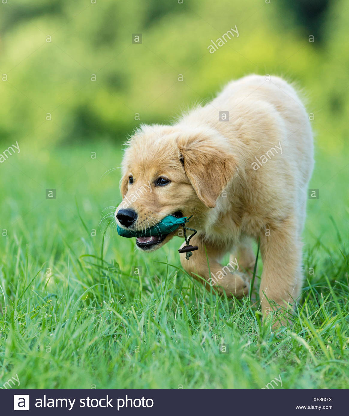 Golden Retriever Puppy fetching dummy - Stock Image