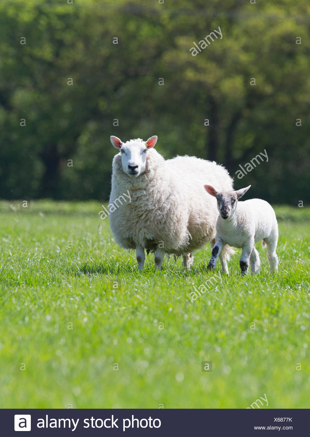 Portrait sheep and lamb in sunny green spring field - Stock Image