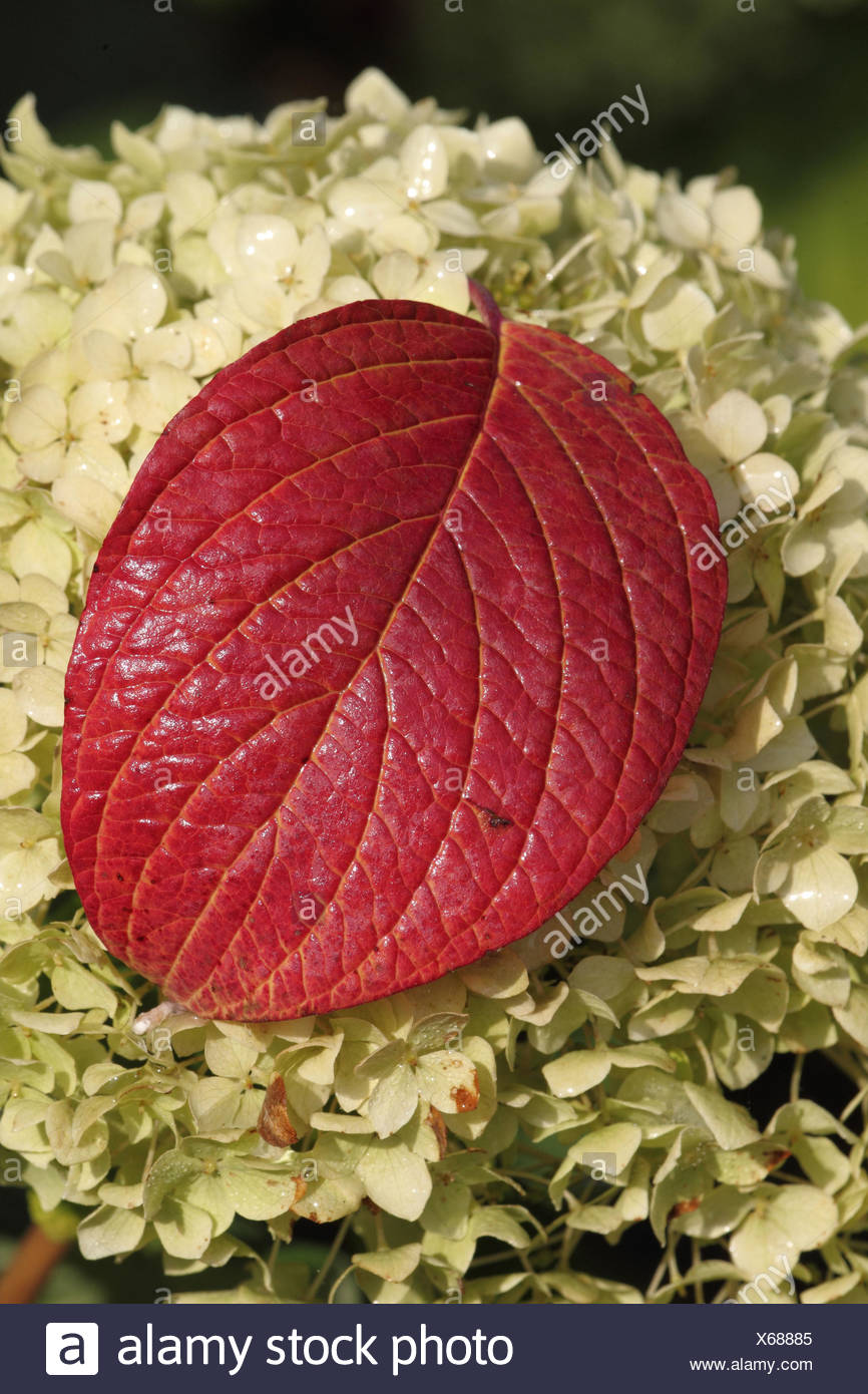 Japanese snowball leaves in autumn, - Stock Image