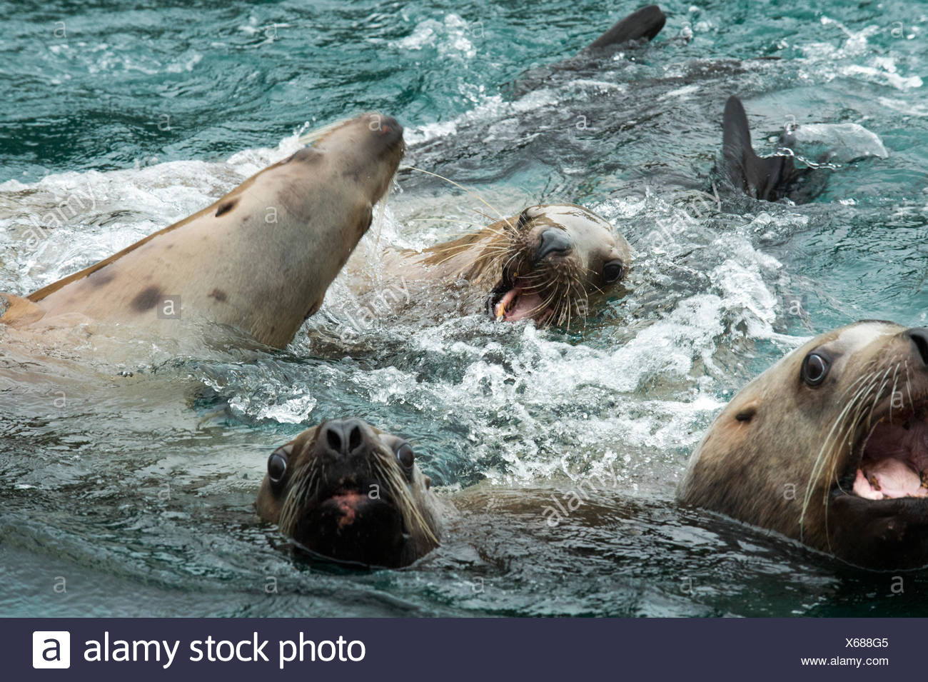Close up of Stellar sea lions barking and playing in the water. - Stock Image