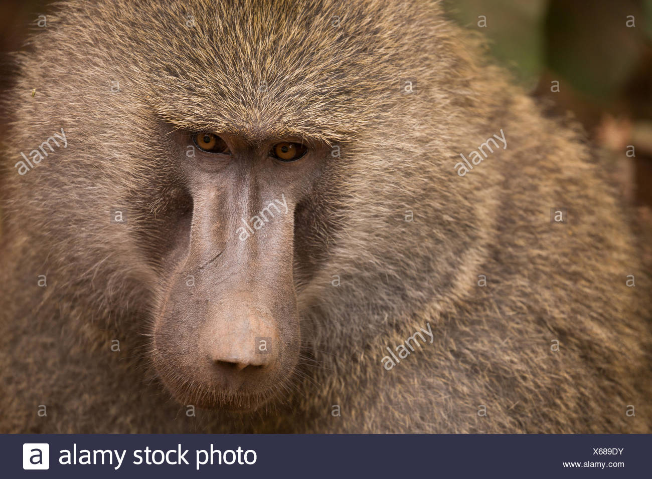 Portrait of a baboon in Lake Manyara National Park. - Stock Image