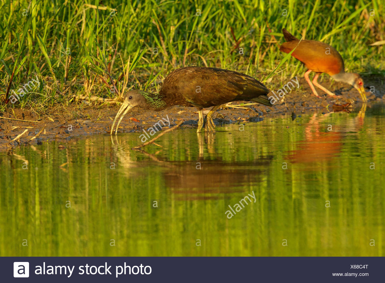 Green Ibis (Mesembrinibis cayennensis) feeding along the shore of an oxbow lake in Manu National Park, Peru. - Stock Image