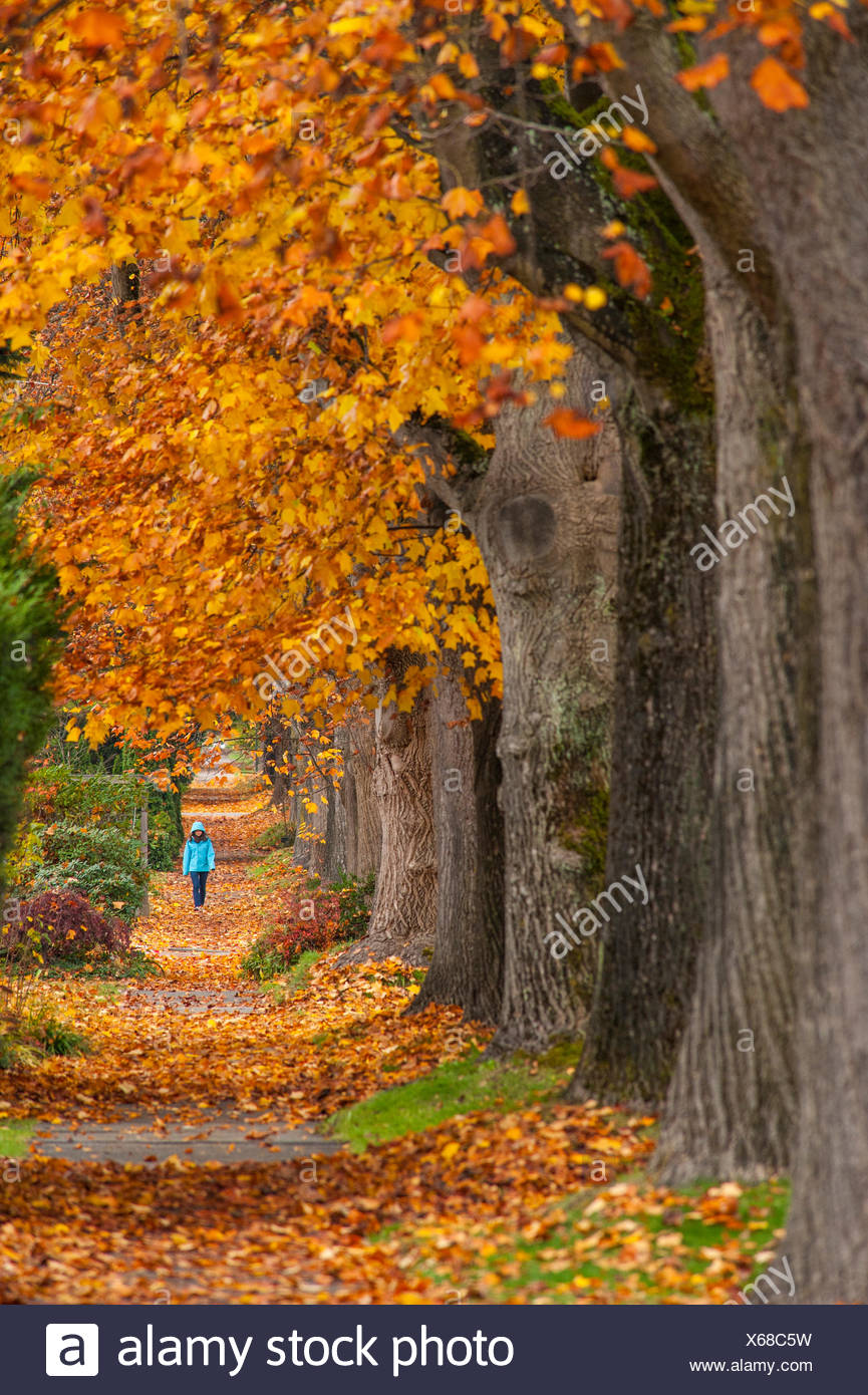 Maple trees along west 10th ave, Vancouver, British Columbia, Canada - Stock Image