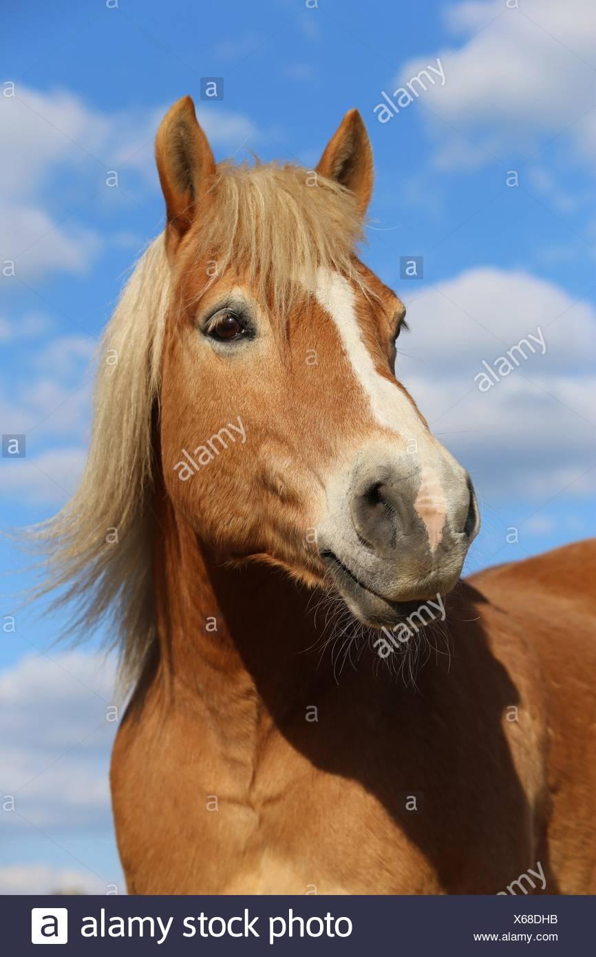 Haflinger horse portrait - Stock Image