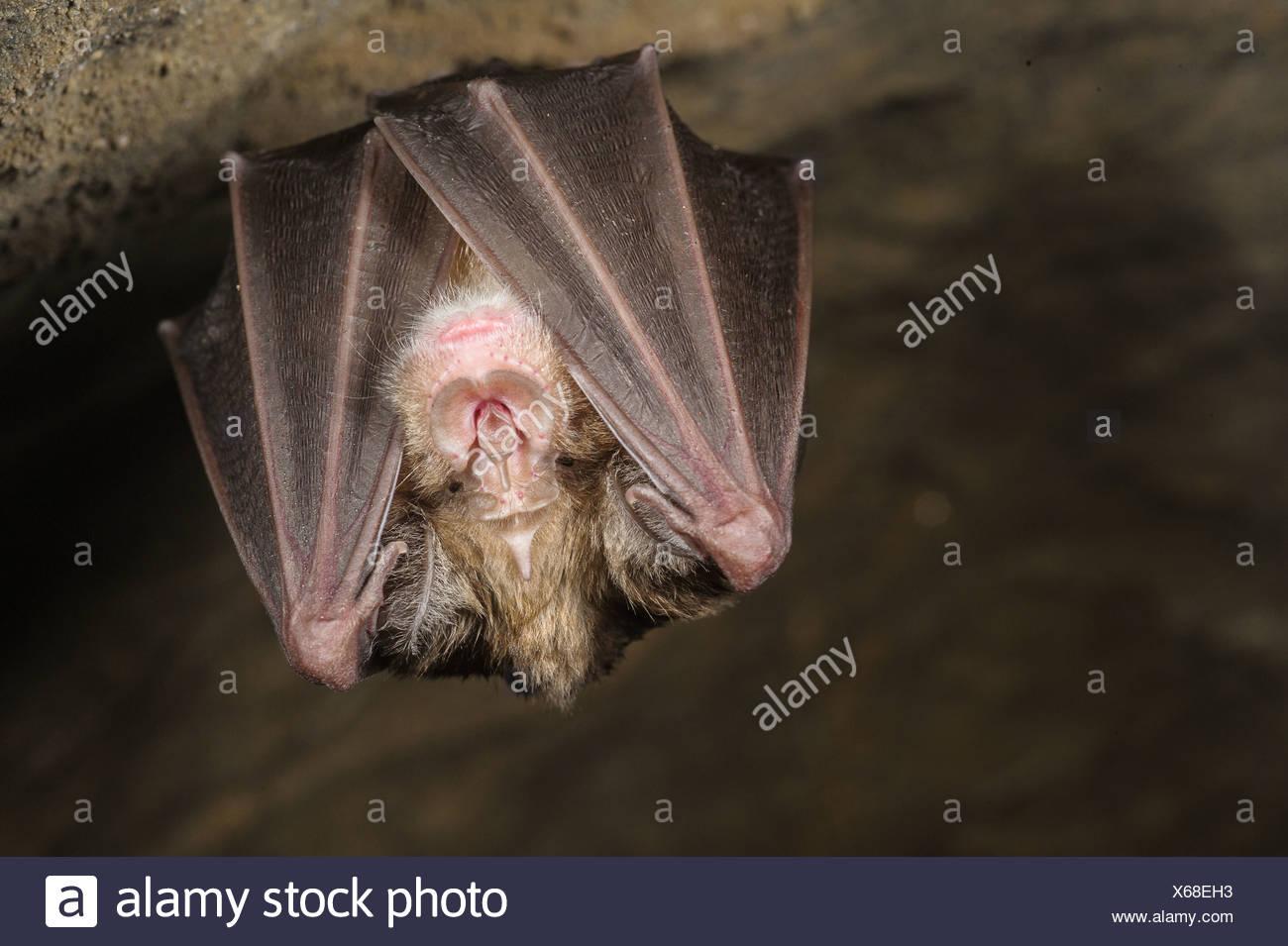 Greater Horseshoe Bat (Rhinolophus ferrumequinum) adult hibernating in cave Grotta dell'Orso Ormea Cuneo Province Piedmont - Stock Image