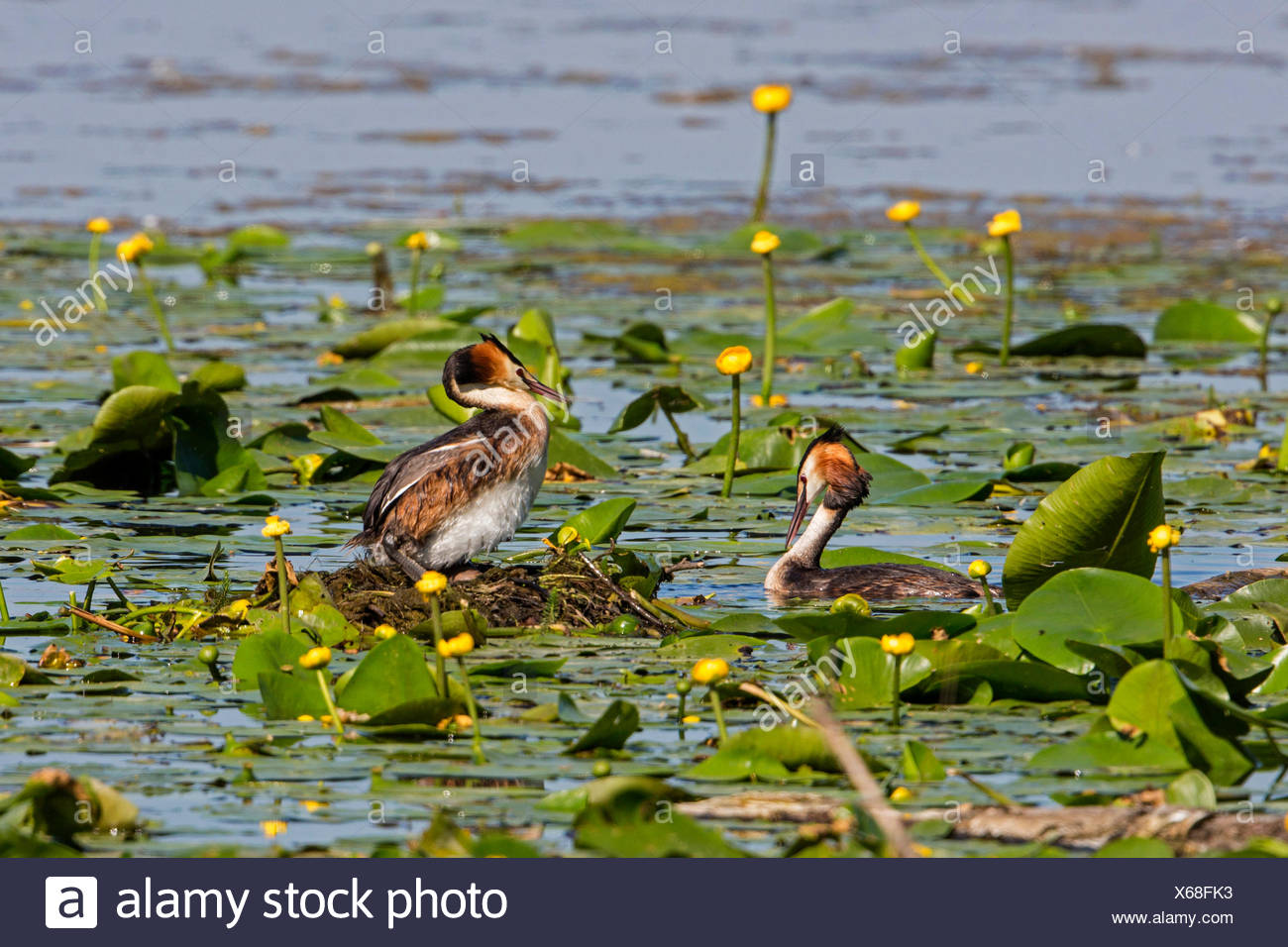 great crested grebe (Podiceps cristatus), couple at the nest with egg, Germany, Bavaria, Lake Chiemsee Stock Photo