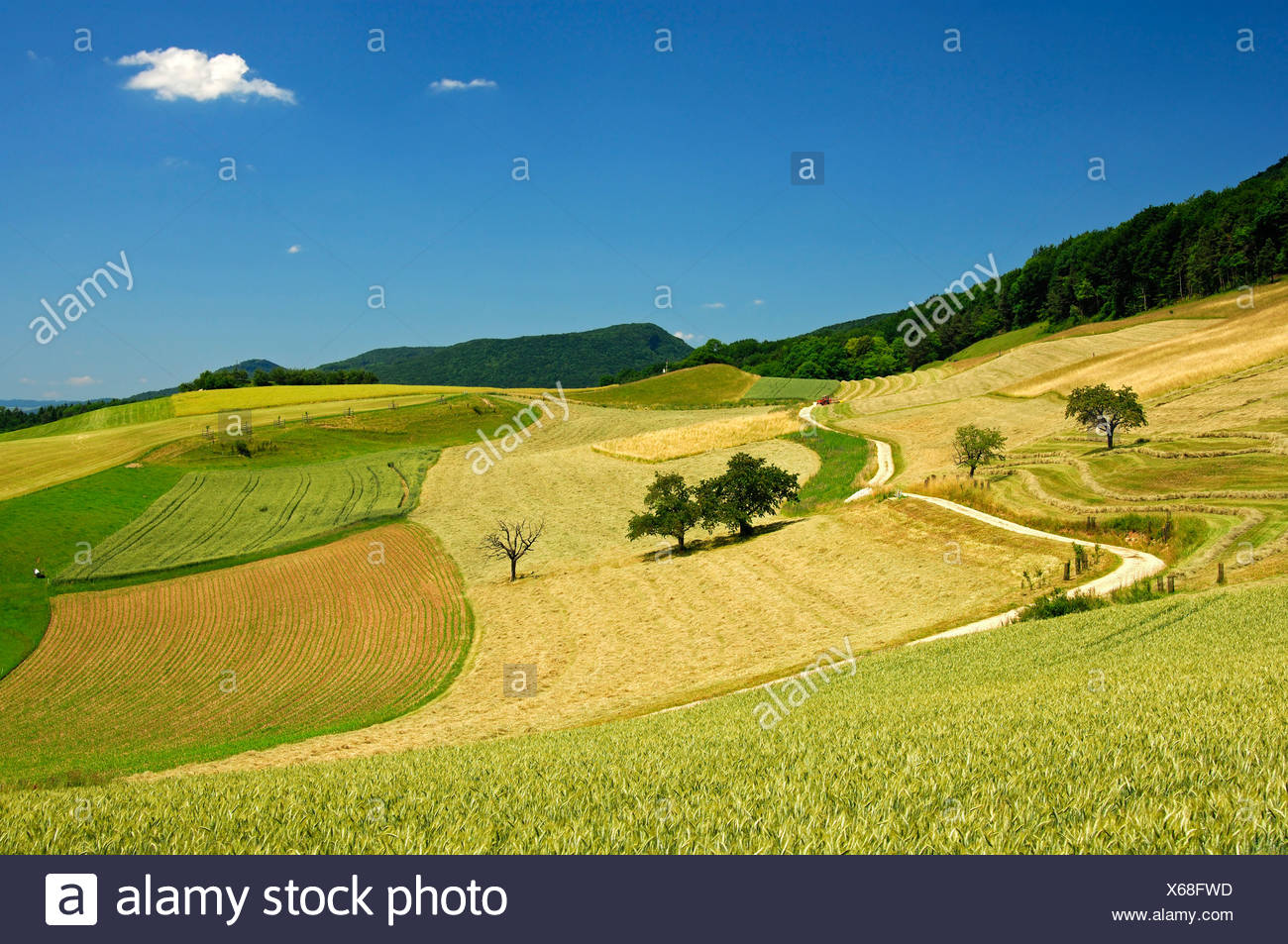 Rolling hills landscape with fields ready for harvest in the Swiss Central Plateau on a warm summer day, canton of Aargau, Swit - Stock Image