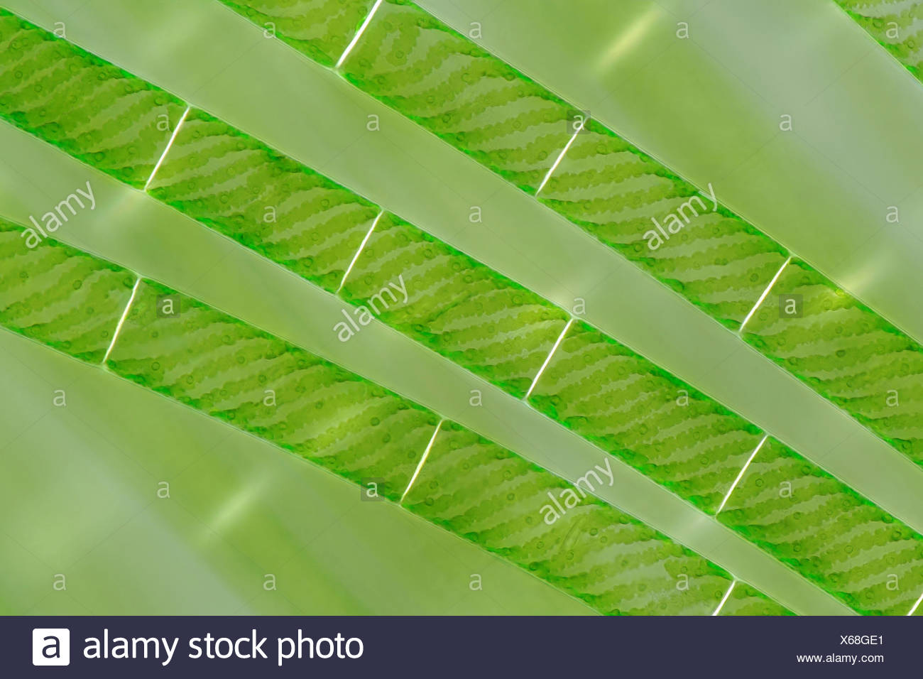 Spiraling Chloroplasts In Spirogyra Stock Photo  279242377