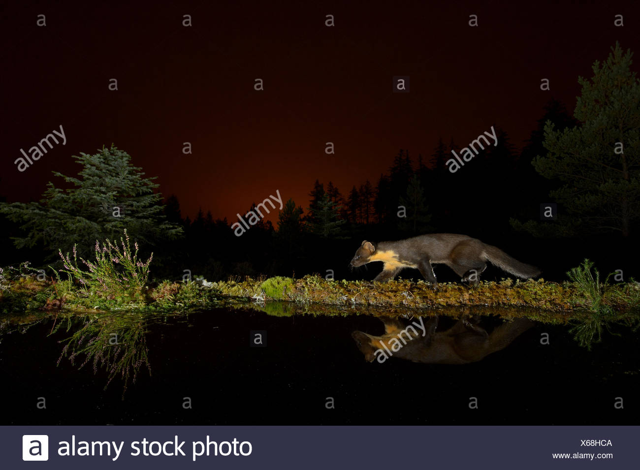 Pine marten (Martes martes) walking along edge of water, orange glow in sky behind from the lights of Inverness. Black Isle, Sco - Stock Image