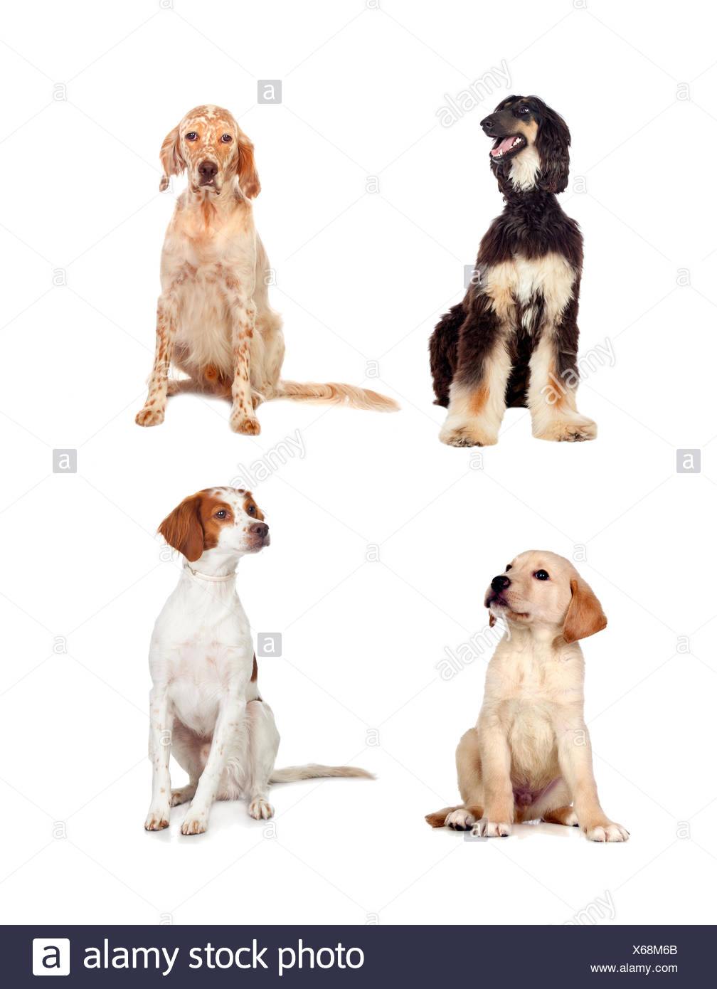 Four dogs of different races sitting isolated on white background - Stock Image