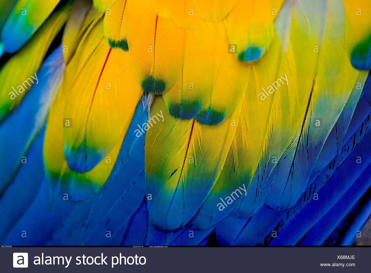 Wing feathers on a Scarlet Macaw Honduras - Stock Image