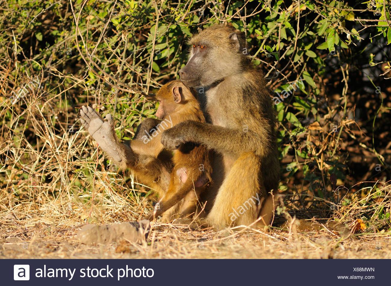 Africa, Botswana, Chobe, National Park, safari, horizontal, wildlife, baboon, mother, pup, monkey, ape, animal, - Stock Image