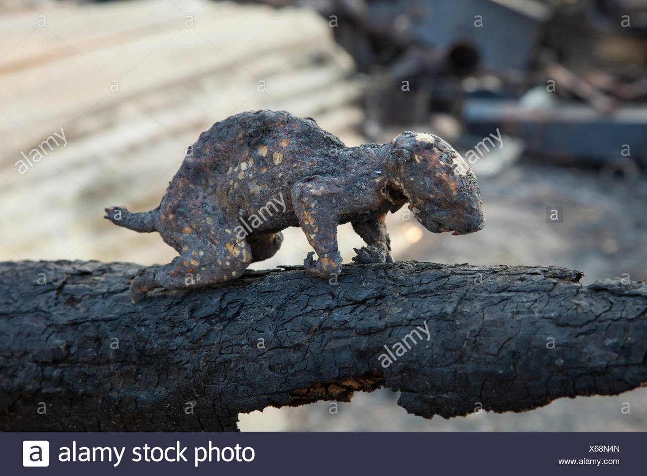 The charred remains of a squirrel burned in a wildfire. - Stock Image