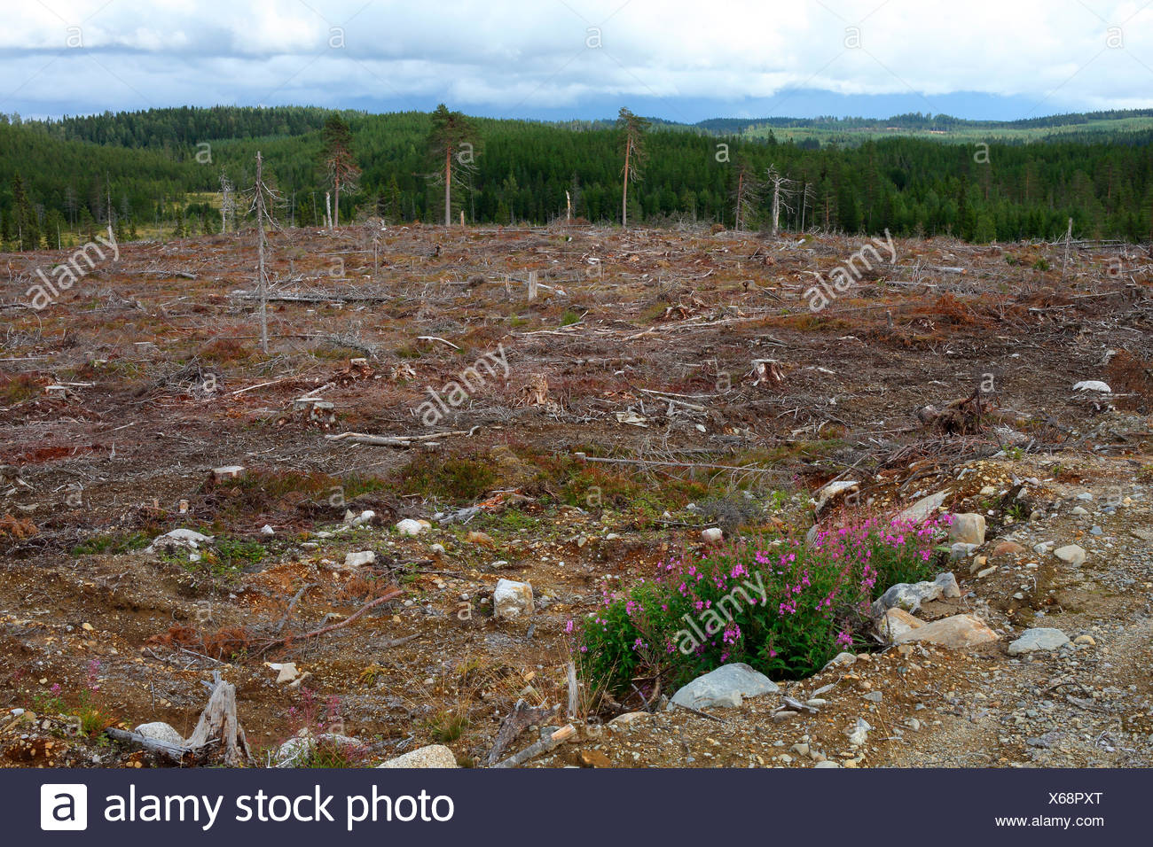 Cut forest - Stock Image