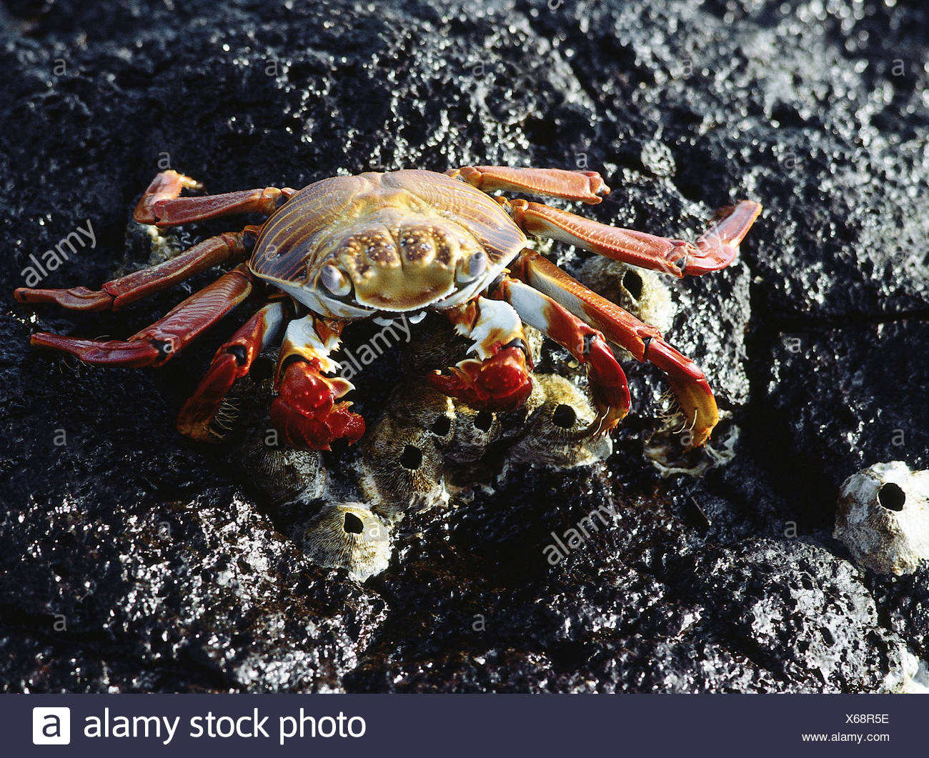 zoology / animals, shellfish / crustacean, red rock crab, (Grapsus grapsus), sitting on rock, close-up, distribution: Mosquera a - Stock Image