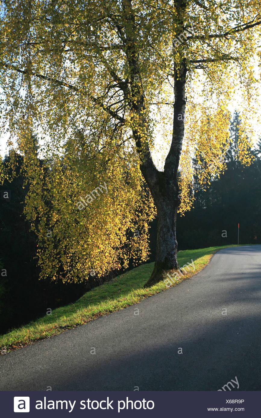 Autumn birch on a side road, Zurich, Switzerland - Stock Image