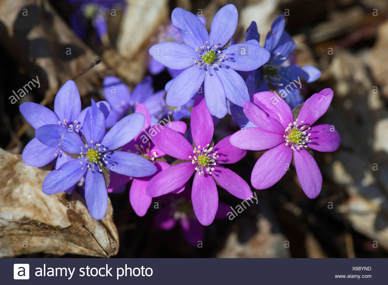Pennywort (Hepatica nobilis), Lake Hornborga, Vaestergoetland, Sweden, Scandinavia, Europe Stock Photo