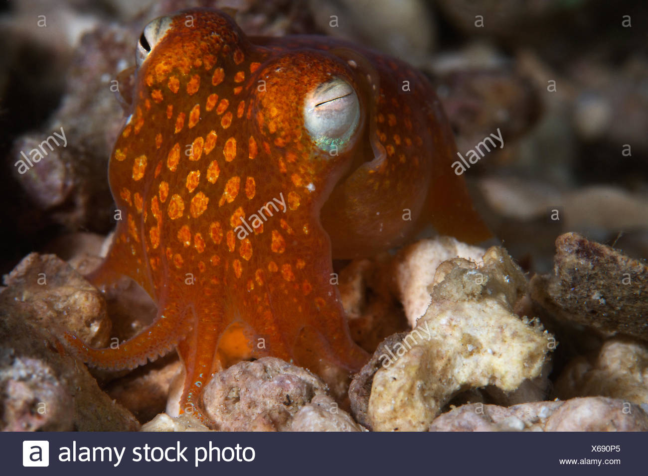 Close up of a bobtail squid. - Stock Image