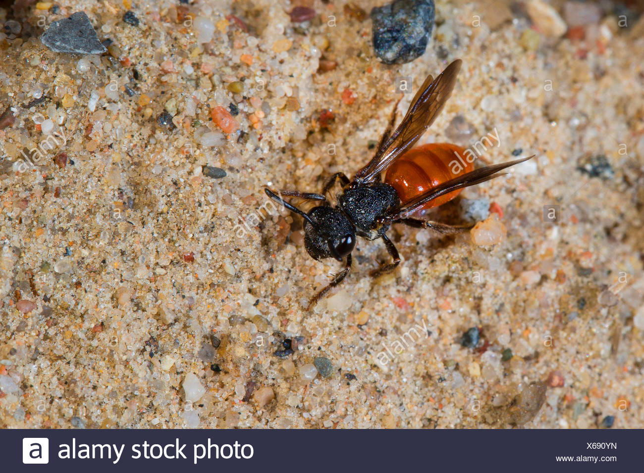 Sweat bee, Halictid Bee (Sphecodes albilabris, Sphecodes fuscipennis), on sandy ground, Germany Stock Photo