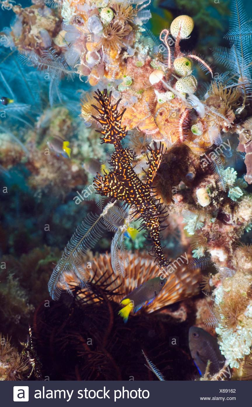 Ornate ghostpipefish Solenostomus paradoxus  Rinca, Komodo National Park, Indonesia - Stock Image
