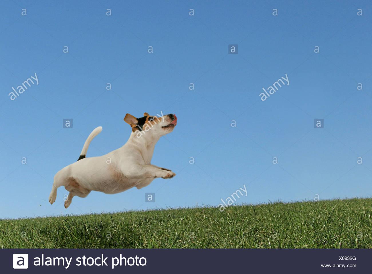 Running Jack Russell - Stock Image