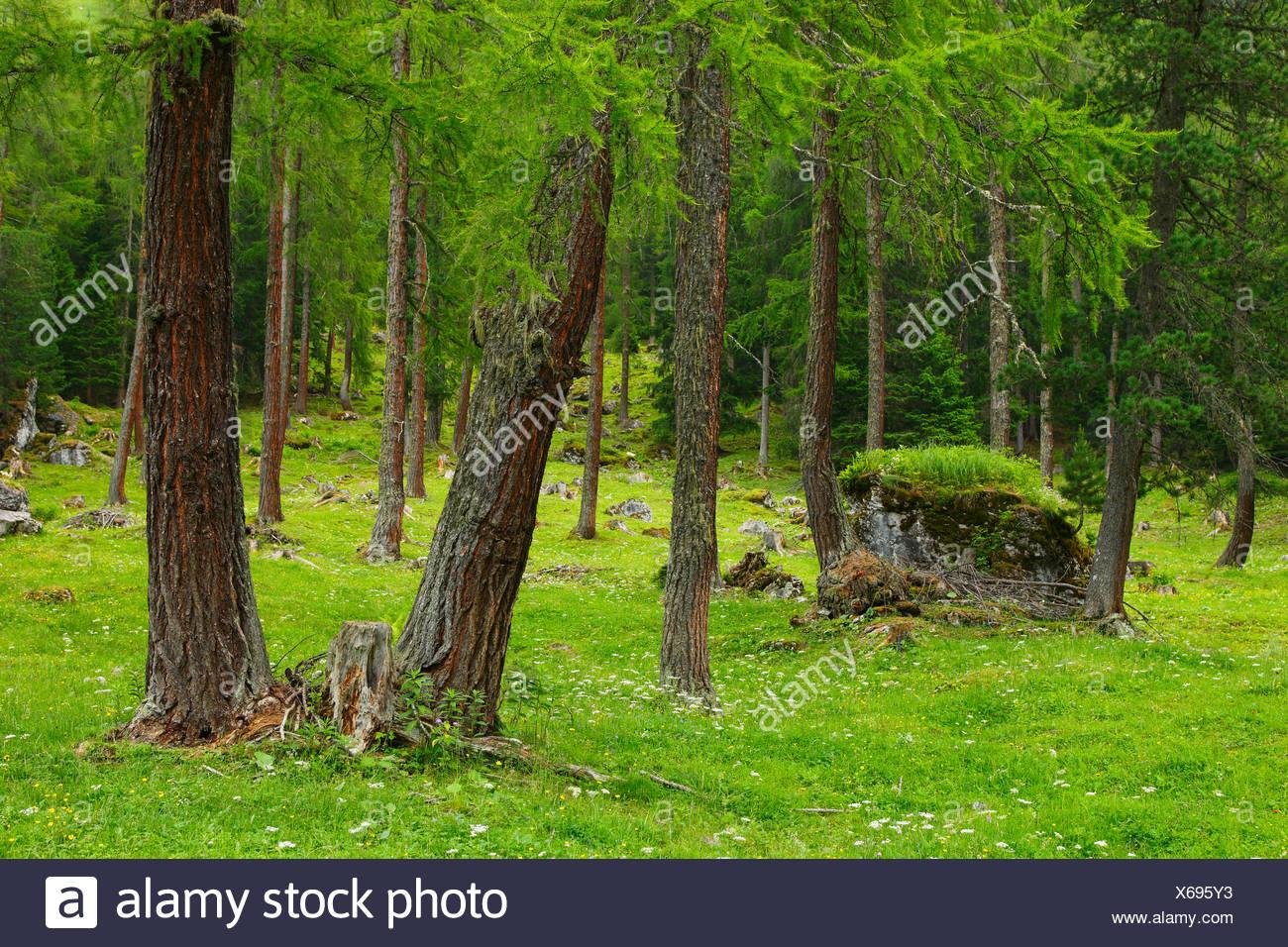 Coniferous forest in summer, Switzerland - Stock Image