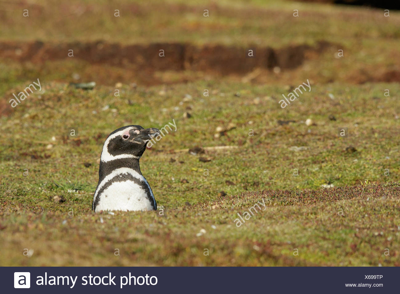 Magellanic Penguin (Spheniscus magellanicus) at its nesting colony in the Falkland Islands. - Stock Image
