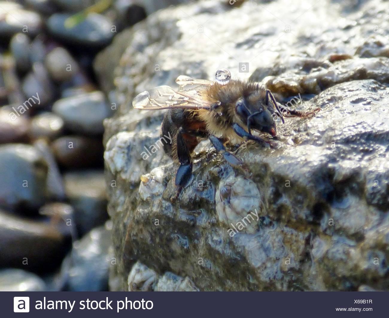 Close-Up Of Honey Bee On Rock Stock Photo