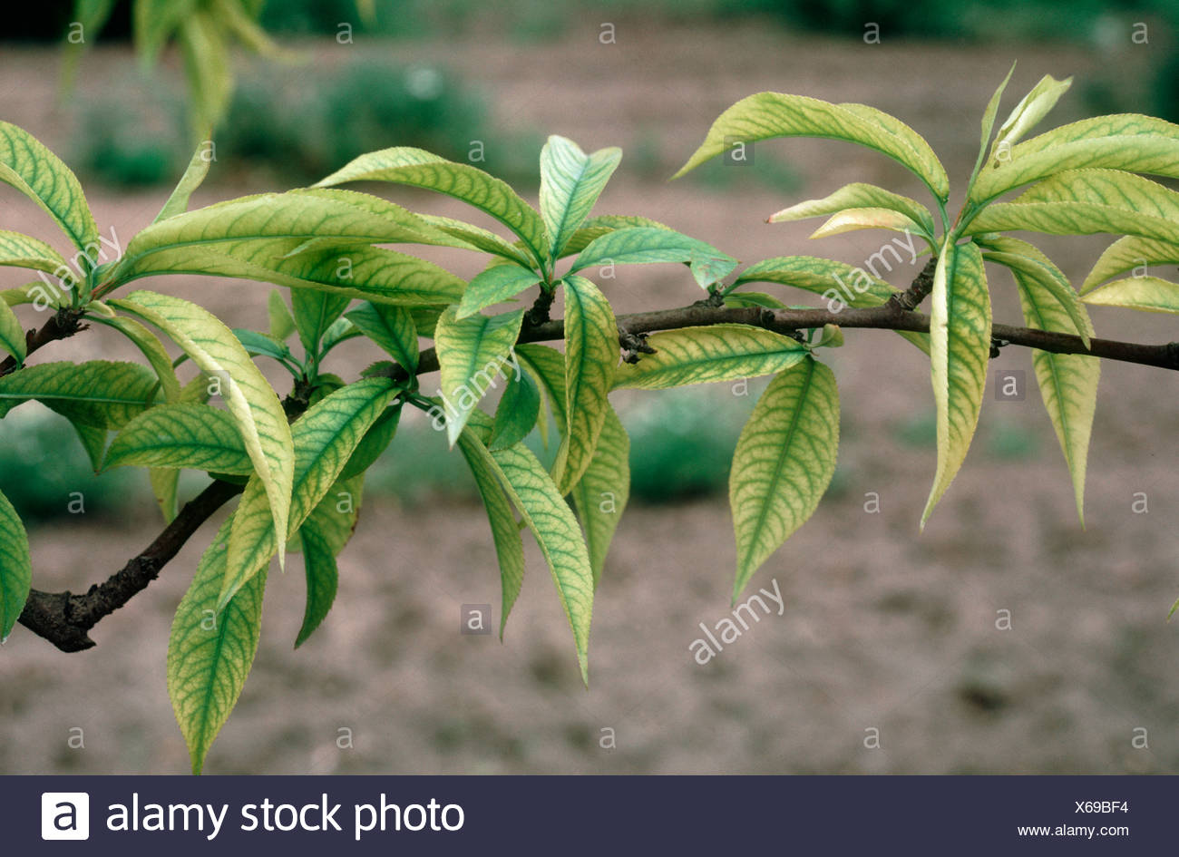 Iron deficiency symptoms on peach leaf and branch - Stock Image
