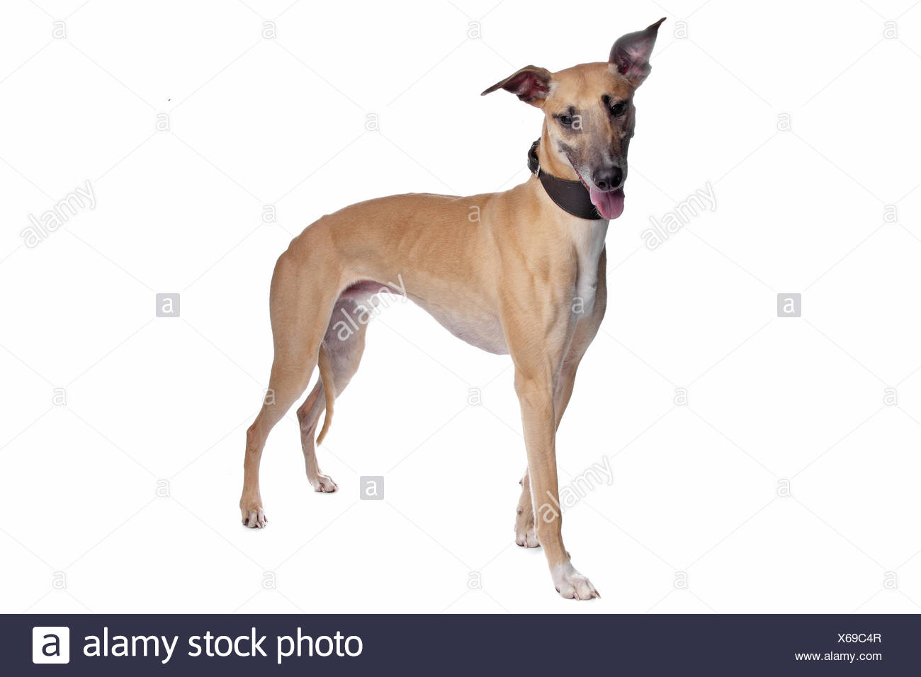 Greyhound, Whippet, Galgo dog - Stock Image