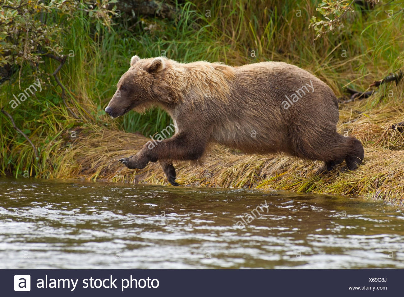 A Brown bear jumps from the streambank into Grizzly Creek to fish for Sockeye salmon, Katmai National Park, Alaska Stock Photo