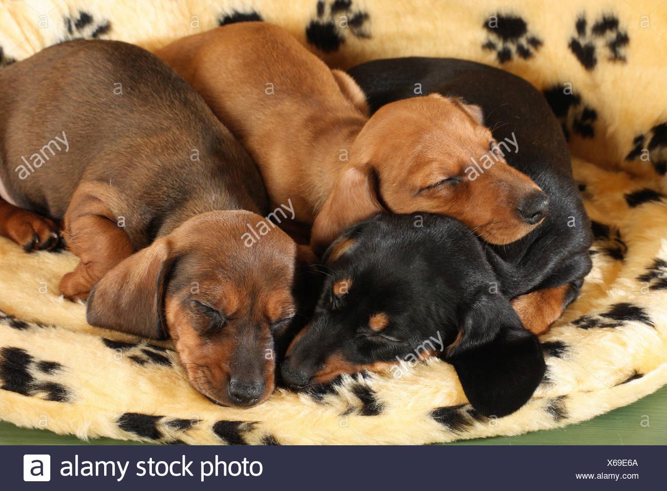 Miniature Dachshund Dog Four Puppies Sleeping Stock Photo Alamy
