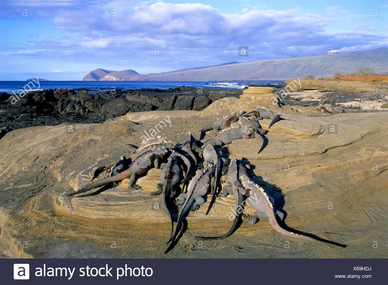 Marine iguanas (Amblyrhynchus cristatus) basking in the late afternoon sunshine, James Island, Galapagos Archipelago, Ecuador - Stock Image