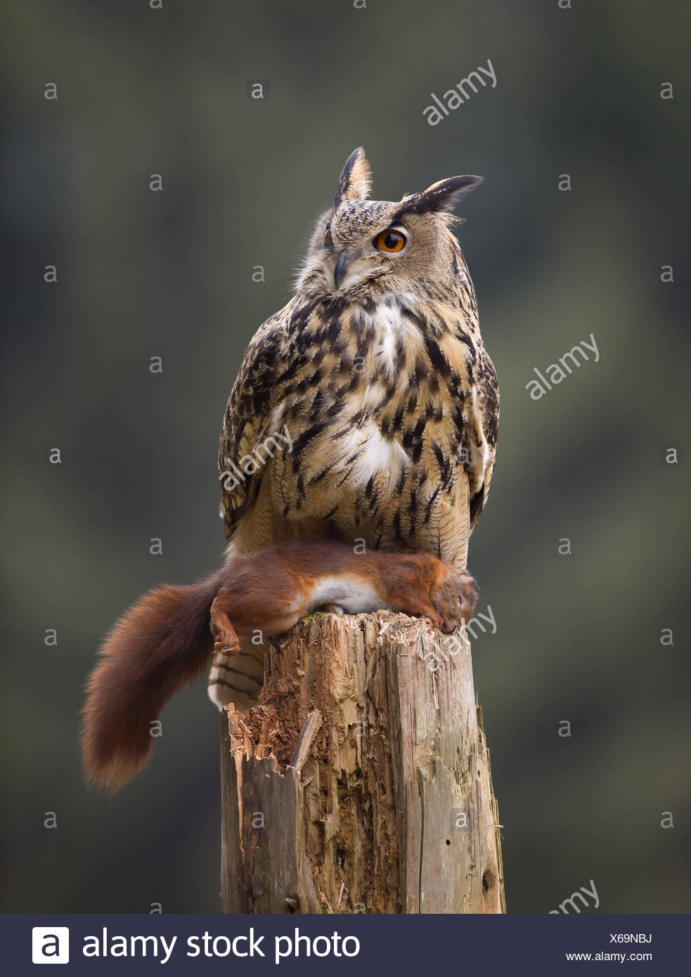Eagle Owl - Stock Image
