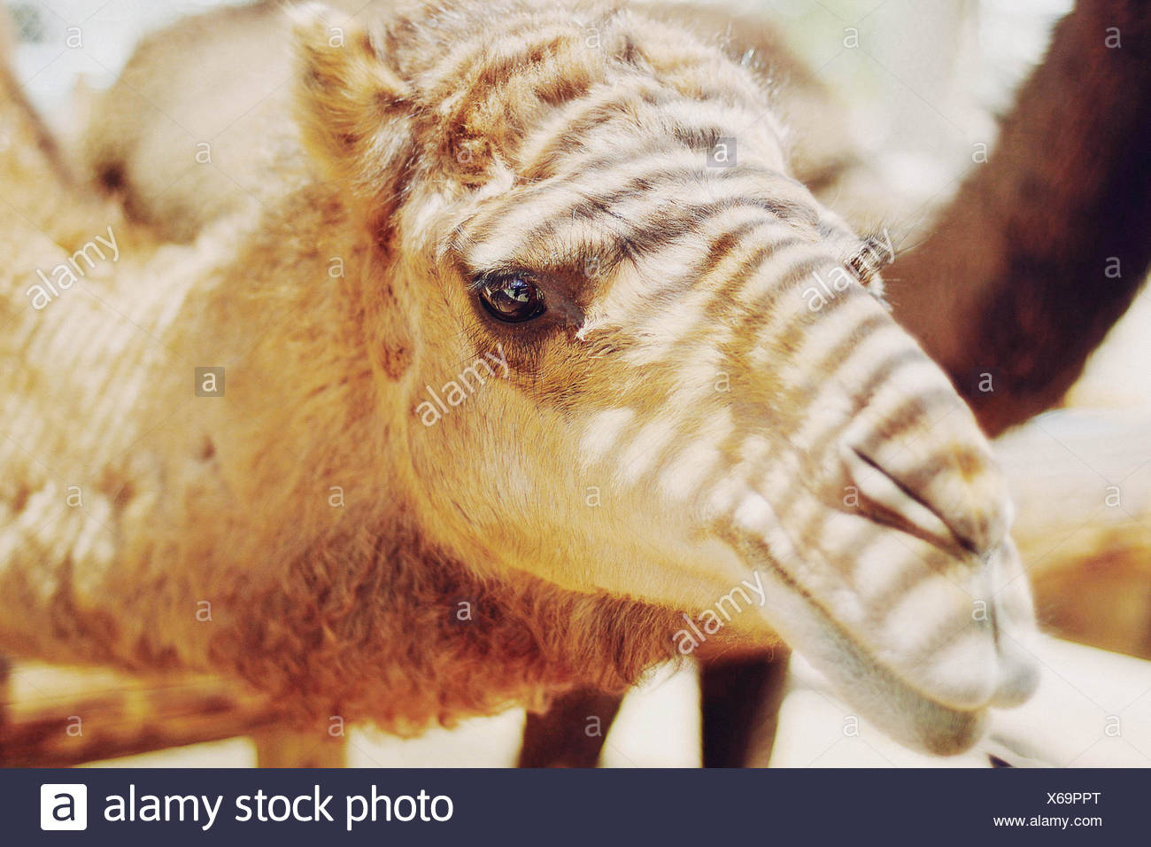 Close up of camel's head with streams of sunlight across face - Stock Image