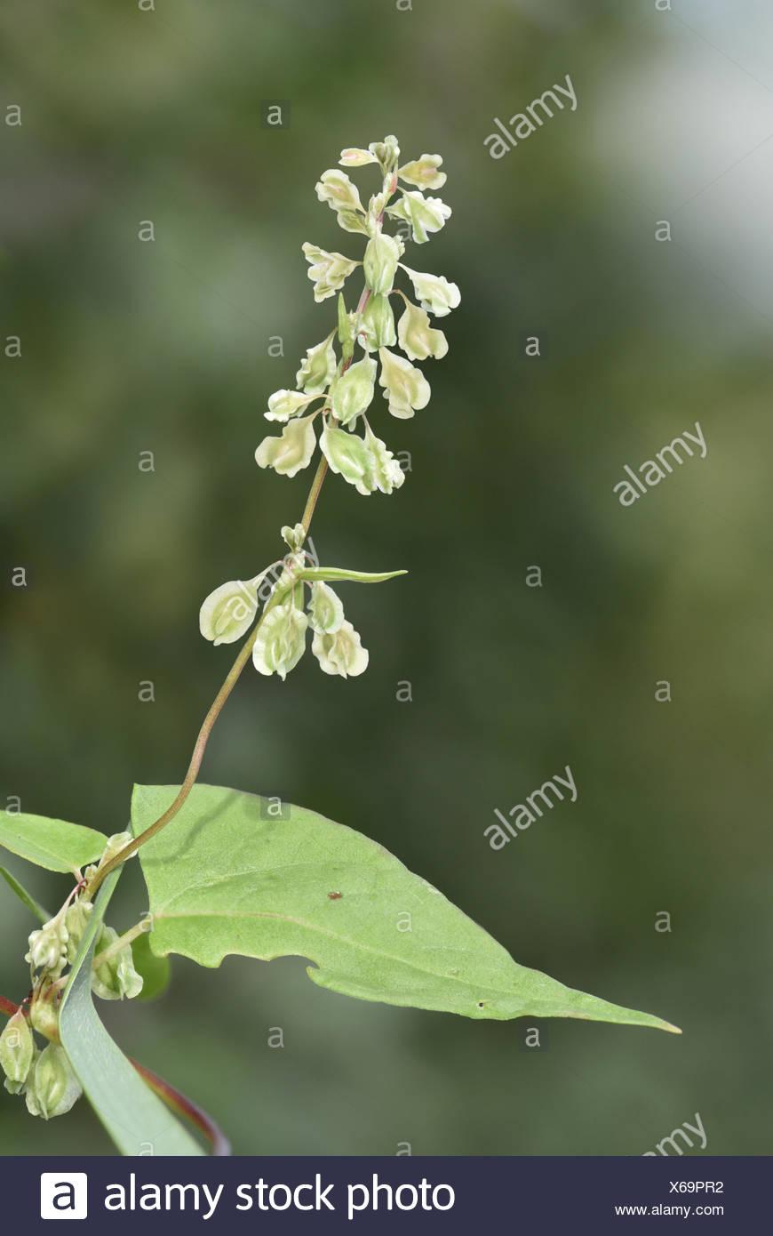 Copse-bindweed - Fallopia dumetorum - Stock Image