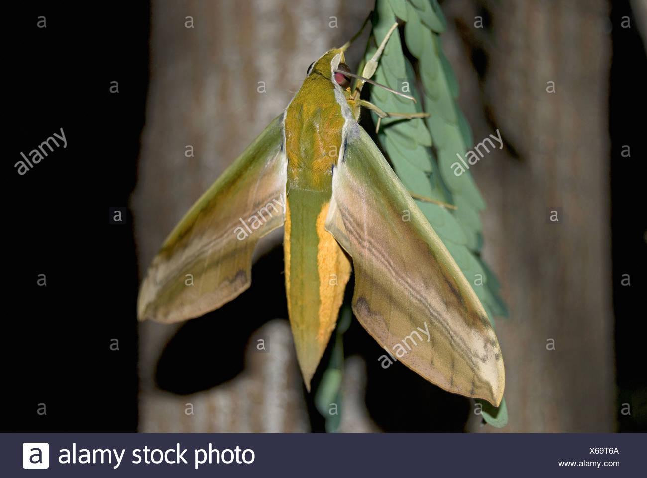 Hawk moth Pune - Stock Image