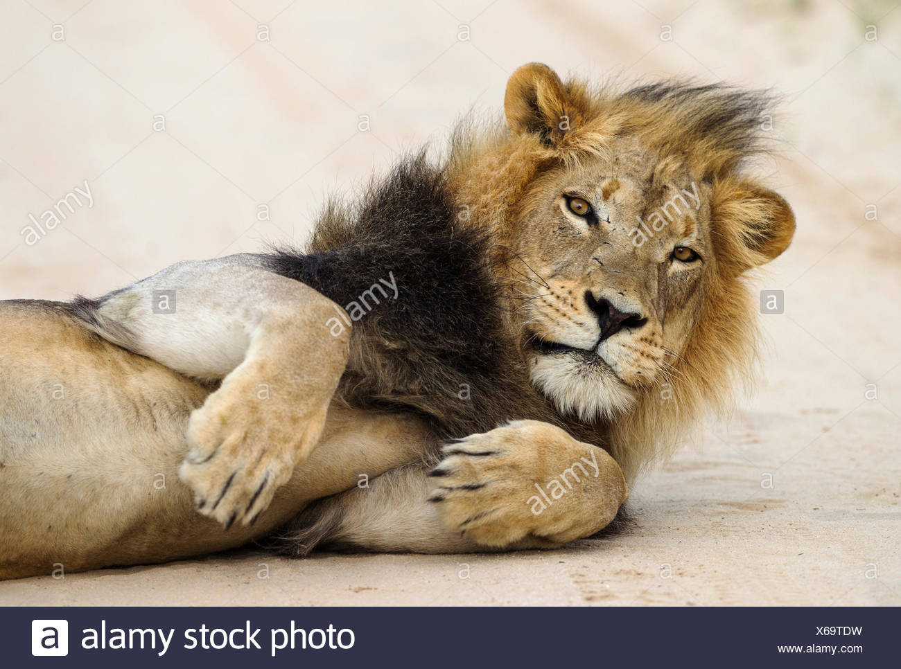 Lion (Panthera leo), black maned Kalahari Lion having been disturbed in his nap on the road - Stock Image