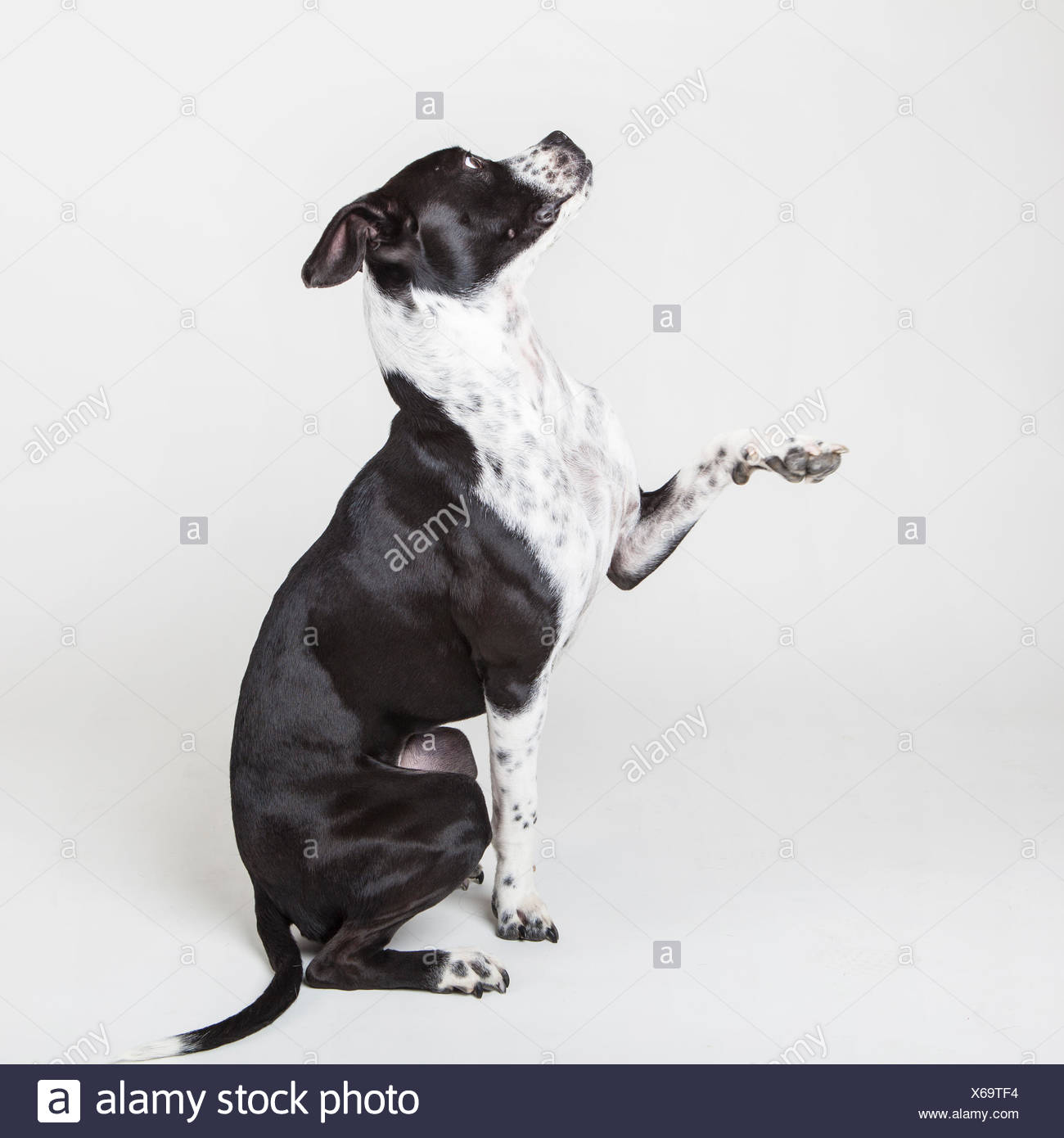A young mixed breed dog poses on a white studio background. - Stock Image