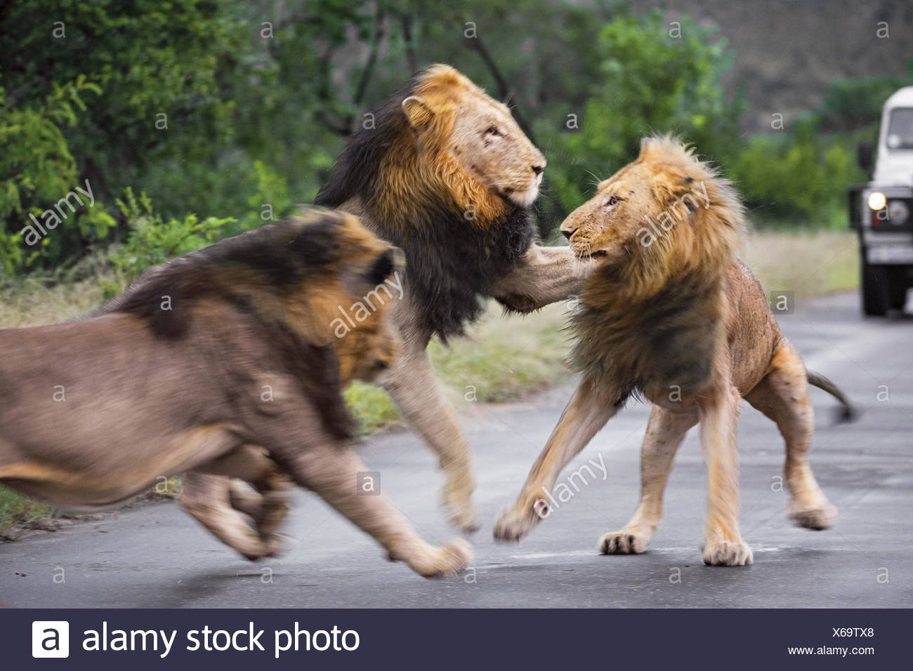 three lions have a skirmish on a paved road. - Stock Image