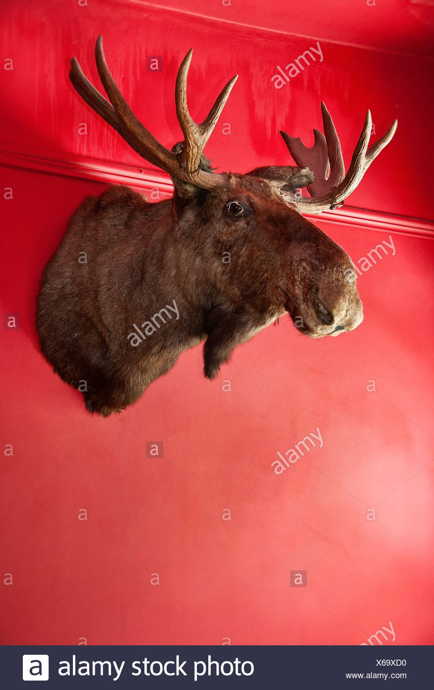 Excellent Moose Head Stock Photos & Moose Head Stock Images - Alamy NI12