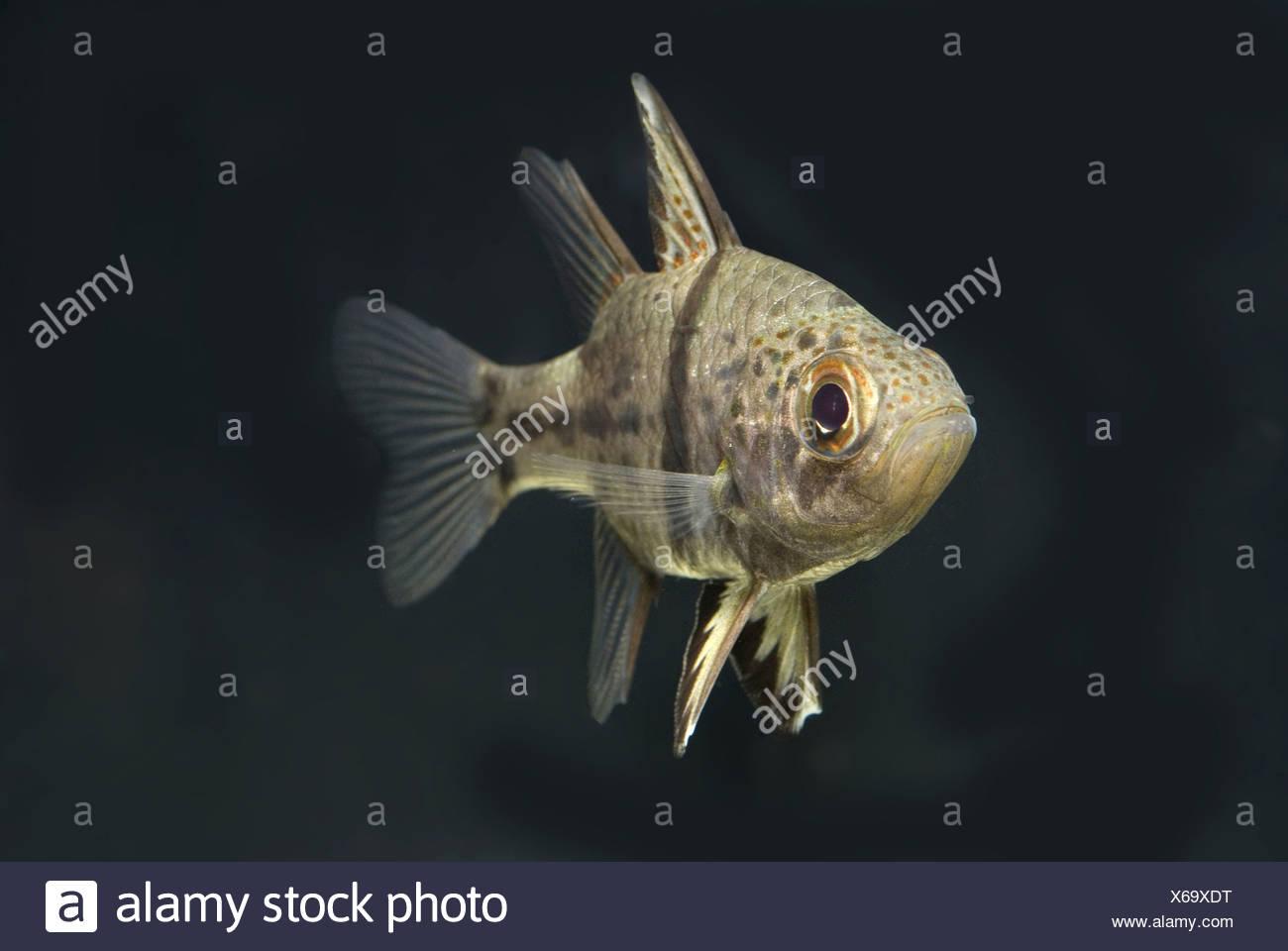 orbiculate cardinalfish, sphaeramia orbicularis - Stock Image