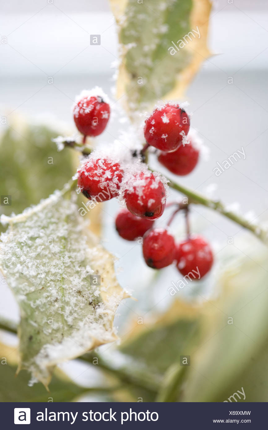 Snow dusted holly berries - Stock Image